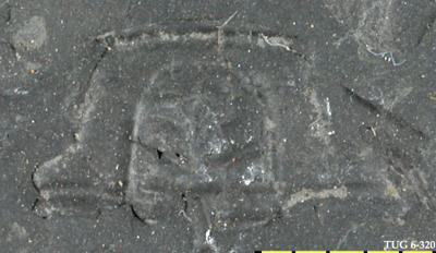 Ptychopariida
