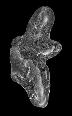 Amorphognathus tvaerensis Bergström, 1962, GIT 549-1