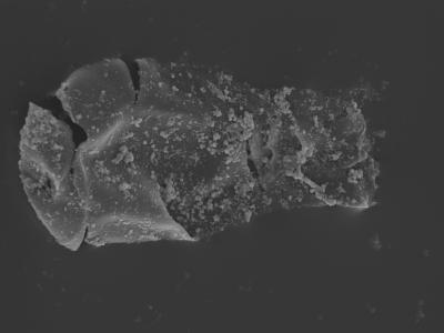 <i><i>Linochitina odiosa</i></i><br />Kolka 54 borehole, 501.90 m, Jaagarahu Stage ( 754-444)