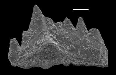 Aphelognathus sp., GIT 551-9