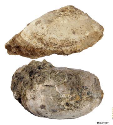 Pseudometoptoma sp, TUG 39-307