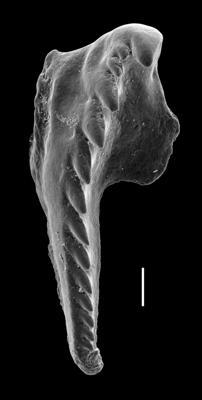 <i>Kozlowskiprion longicavernosus Kielan-Jaworowska, 1966</i><br />Paatsalu 527 borehole, 46.43 m, Wenlock