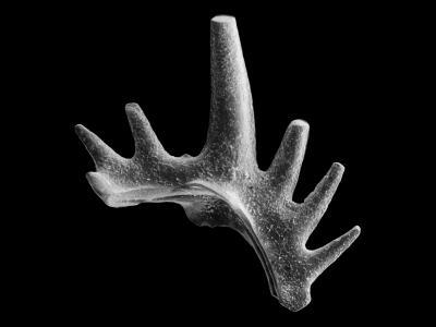 Ctenognathodus jeppssoni Viira et Einasto, 2003, GIT 371-5