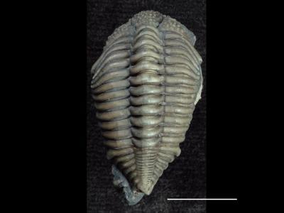 Encrinuridae