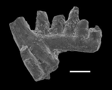 Aphelognathus sp., GIT 551-10