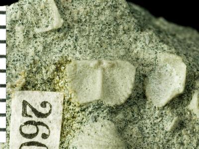 Ranorthis parvula Rubel, 1961, GIT 125-6