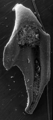 <i>Pararamphoprion sp. A Hints, 1998</i><br />Värsso F-362 borehole, 110.35 m, Jõhvi Substage