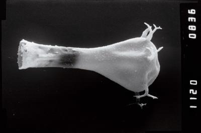 <i><i>Ancyrochitina</i> | Ancyrochitina cf. clathrospinosa</i><br />Vängla trench,  m, Adavere Stage ( 754-1911)