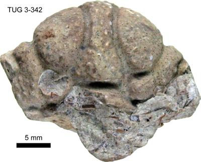 Conolichas deflexus Angelin, TUG 3-342