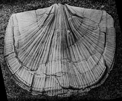 Reuschella magna Hints, 1975, GIT 207-108