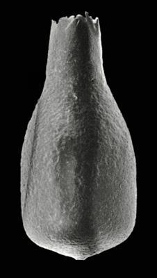 <i><i>Lagenochitina baltica</i></i><br />Orjaku borehole, 96.60 m, Nabala Stage ( 306-13)