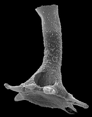 <i><i>Plectochitina pachyderma</i></i><br />Ohesaare borehole, 144.70 m, Rootsiküla Stage ( 527-12)