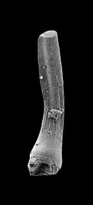 Semiacontiodus carinatus Dzik, 1976, GIT 449-68
