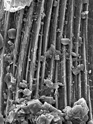 Semiacontiodus carinatus Dzik, 1976, GIT 449-81