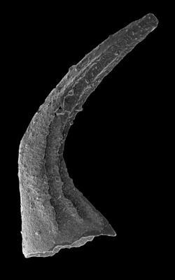 Costiconus ethingtoni (Fåhraeus, 1966), GIT 594-52