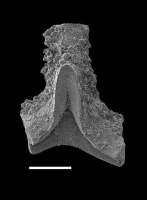 Wurmiella excavata (Branson et Mehl, 1933), GIT 598-13