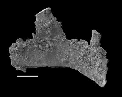 Wurmiella excavata (Branson et Mehl, 1933), GIT 598-12