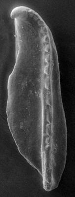 <i>Polychaetaspis? sp. B Hints, 1998</i><br />Apraksin Bor 17 borehole, Leningrad Oblast, 112.95 m, Keila Stage