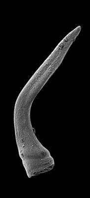 Semiacontiodus carinatus Dzik, 1976, GIT 449-74