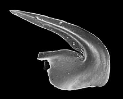 Microzarkodina ozarkodella Lindström, 1971, GIT 342-79