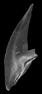Triangulodus alatus Dzik, 1994, GIT 594-56