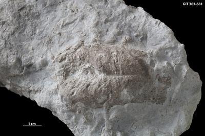 Rusophycus isp., GIT 362-681