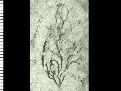 Thallograptus cervus Obut et Rytzk, 1958, GIT 119-30