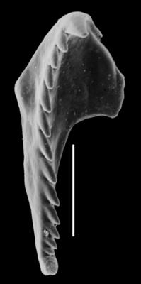 <i>Oenonites aff. latus (Kielan-Jaworowska, 1966)</i><br />Orjaku borehole, 54.00 m, Pirgu Stage