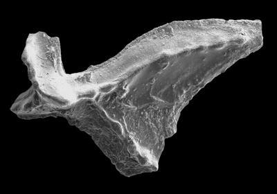 Lenodus variabilis (Sergeeva, 1963), GIT 594-59