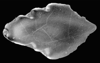 Goniporus alatus (Gross, 1947), GIT 232-279