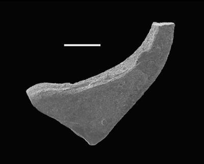 Dapsilodus sp. n. R Loydell et al., 2010, GIT 566-5