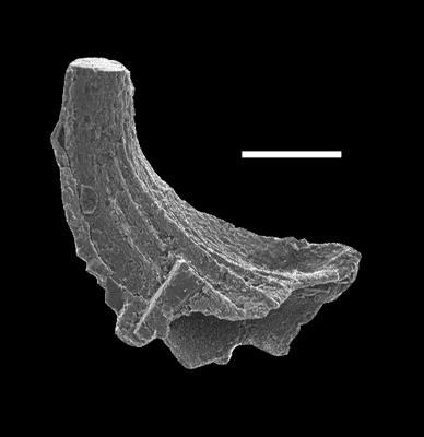 Walliserodus cf. curvatus (Branson et Branson, 1947, GIT 597-2