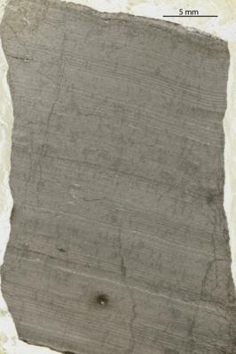 Densastroma pexisum (Yavorsky, 1929), GIT 114-30
