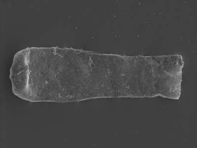 <i><i>Conochitina tuba</i></i><br />Kolka 54 borehole, 545.00 m, Jaani Stage ( 754-433)