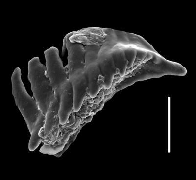 Xanioprionidae