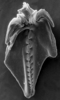 Polychaetaspis gadomskae Kielan-Jaworowska, 1966, GIT 159-20