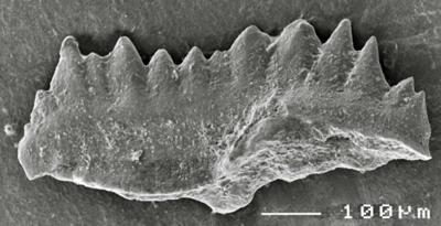Pterospathodus eopennatus ssp. n. 1 Männik, 1998, GIT 511-45