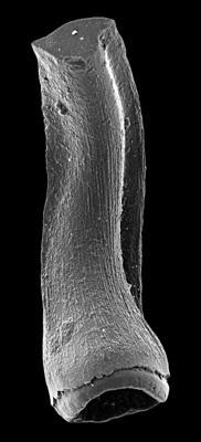 Semiacontiodus carinatus Dzik, 1976, GIT 449-73