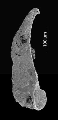 <i>Hindenites sp. 1</i><br />Blankenheimerdorf section, Eifel region,  m, Eifelian