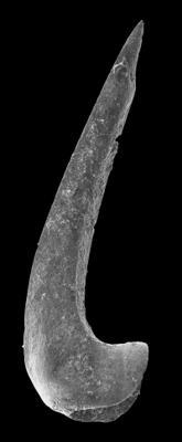 Drepanodus arcuatus Pander, 1856, GIT 594-129