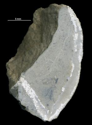 Cystiphyllida