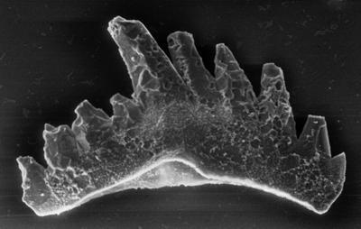 Ozarkodina excavata puskuensis Männik, 1994, GIT 254-51