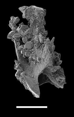 Pterospathodus pennatus procerus (Walliser, 1964), GIT 598-3