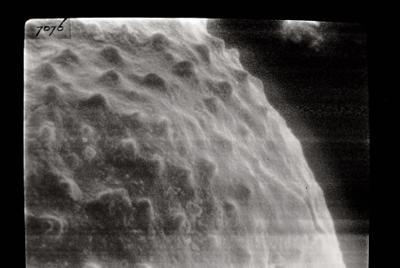 <i><i>Angochitina longicollis</i></i><br />Varbla 502 borehole, 132.10 m, Adavere Stage ( 754-98)