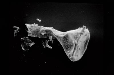 <i><i>Ancyrochitina gutnica</i></i><br />Ruhnu 500 borehole, 373.90 m, Jaagarahu Stage ( 754-582)