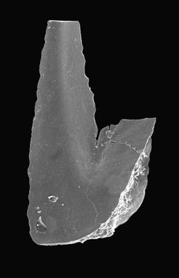 Paroistodus proteus (Lindström, 1955), GIT 495-5