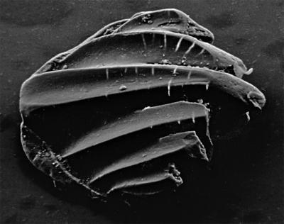 Goniporus alatus (Gross, 1947), GIT 232-399