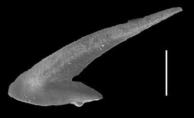 Oslodus semisymmetricus (Hamar, 1966), GIT 654-32