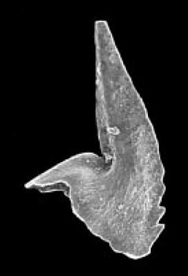 Trapezognathus quadrangulum Lindström, 1955, GIT 342-32