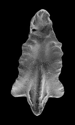 Apsidognathus tuberculatus ssp. n. 3 Männik, 2007, GIT 555-27